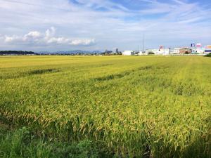 水稲の様子