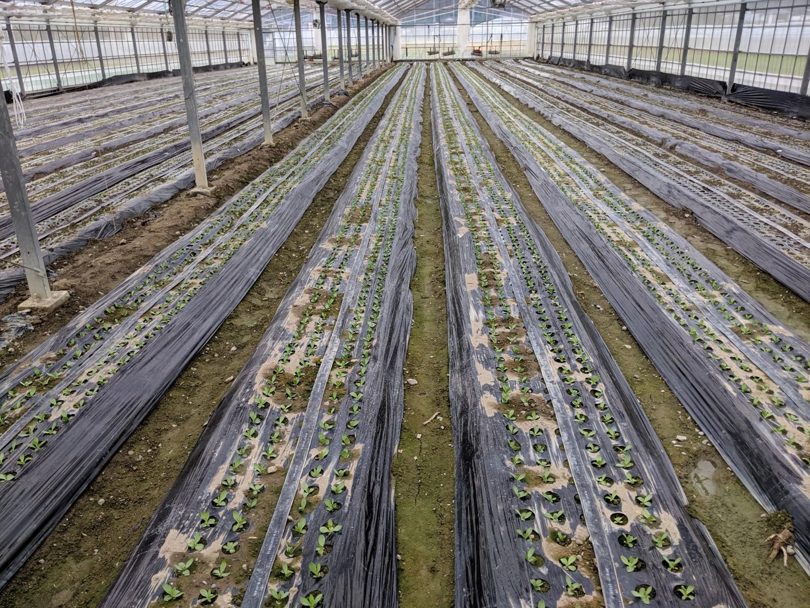 どんぐり農園トルコキキョウ定植2019年9月